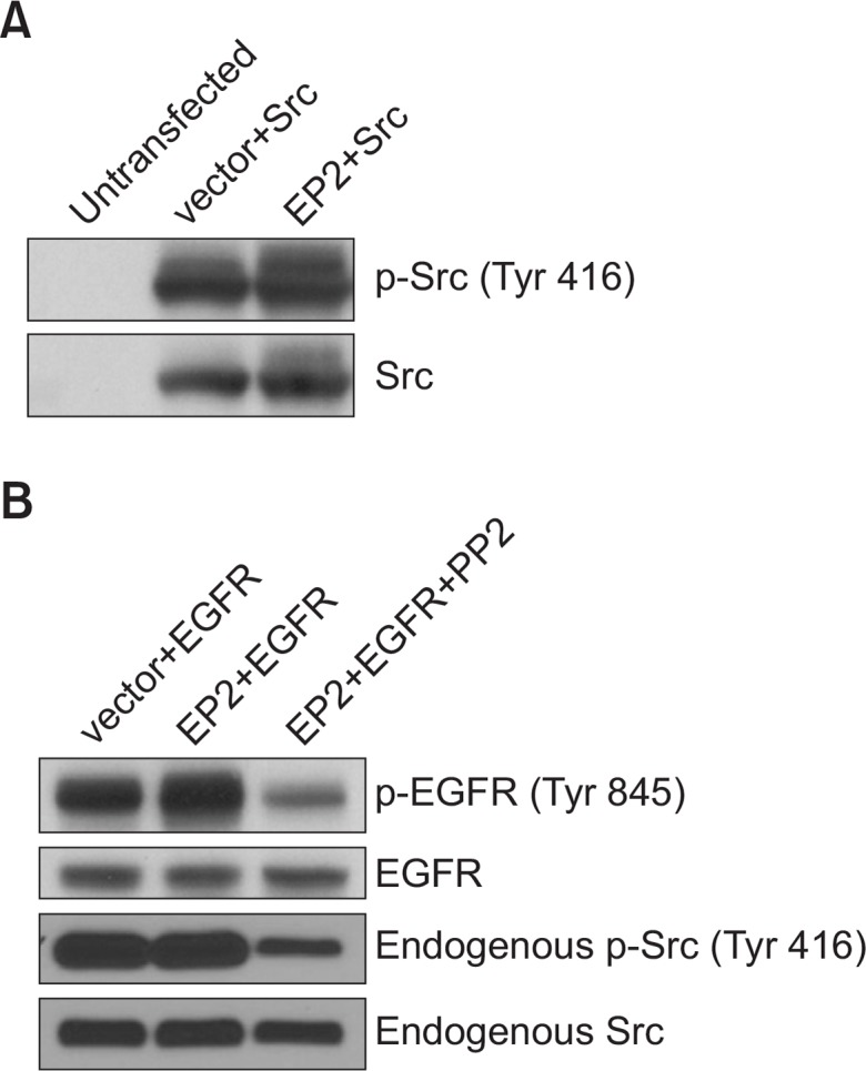 EP2 overexpression increases Src phosphorylation and activity. (A) EP2 overexpression increases Src phosphorylation. HEK 293 cells were transfected with empty vector or pcDNA3.1(−) EP2 and pcDNA3-Src. Cell lysates were subjected to western blot analysis for p-Src (Tyr416). Membranes were stripped and reprobed for Src to confirm equal expression of Src. (B) EP2 overexpression increases endogenous Src activity. HEK 293 cells were transfected with empty vector or pcDNA3.1(−) EP2 and pcDNA3-EGFR. Twenty-four hours after transfection, cells were incubated with or without PP2 for another 24 hours. Cell lysates were subjected to western blot analysis for p-EGFR (Tyr845). Membranes were stripped and reprobed for EGFR to confirm equal expression of EGFR. Additionally, cell lysates were subjected to western blot analysis for p-Src and total Src to examine the effect of PP2 on endogenous Src phosphorylation in HEK 293 cells.