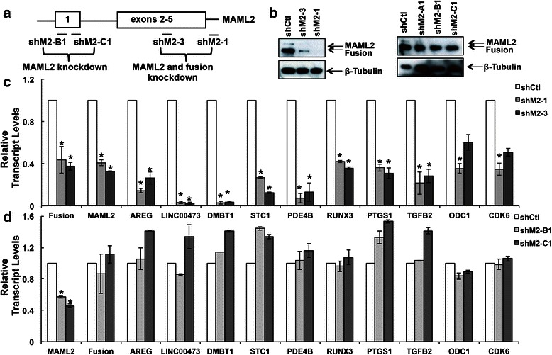 Real-time RT-PCR assays validated a subset of CRTC1-MAML2 fusion-regulated genes identified from microarray analysis. a Lentiviral pLKO.1-based shRNAs targeting various regions of the MAML2 gene were indicated. These shRNAs and scramble control shRNA (shCtl) lentiviruses were used to infect the CRTC1-MAML2 fusion-expressing H3118 MEC cells and the infected cells were processed to isolate protein lysates for Western blotting analysis and RNA for real-time RT-PCR assays. b Western blot analysis showed shM2-1 or shM2-3 led to the knockdown of MAML2 and fusion, whereas that shM2-B1 or shM2-C1 caused MAML2 knockdown only. It is noted that another shRNA, shM2-A1 targeting the exon 1 of MAML2 did not cause MAML2 knockdown. c , d Real-time RT-PCR analyses showed that knockdown of both CRTC1-MAML2 fusion and MAML2 in H3118 MEC cells led to reduced transcripts levels of a known target AREG and a subset of novel fusion target genes, including LINC00473, DMBT1, STC1, PDE4B, RUNX1, PTGS1, TGFB2, ODC1, and CDK6 ( c ), whereas MAML2 knockdown in H3118 MEC cells did not significantly affect their expression ( d ). The level of CRTC1-MAML2 fusion transcript was determined using a primer set that spans the chromosomal translocation breakpoint. The level of MAML2 knockdown was determined using the primers that amplify the exon 1 of MAML2. Data are presented as mean ± S.E. ( n = 3, * p