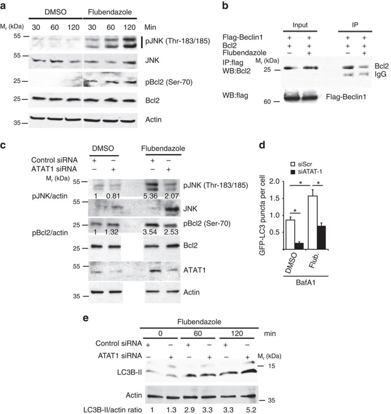 Flubendazole activates JNK1 and Bcl-2 and relieves Beclin 1 from negative regulation. ( a ) HeLa cells treated with DMSO or flubendazole (5 μg ml −1 ) were lysed and subjected to <t>immunoblotting.</t> ( b ) Coimmunoprecipitation analysis of interaction between Beclin 1 and Bcl-2 (HEK293T lysates) in cells treated with DMSO or 5 μg ml −1 flubendazole for 2 h. ( c ) HeLa cells knocked down for ATAT1 and treated with DMSO or 5 μg ml −1 flubendazole (for 2 h) were lysed and subjected to immunoblotting. ( d ) High-content analysis of the abundance of LC3 puncta in HeLa cells knockdown for ATAT1 or control cells treated with flubendazole or DMSO for 45 min. Flub, flubendazole; statistics, mean±s.e.; Student's t- test. * P