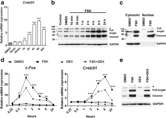 cAMP and glucocorticoid regulate Creb3l1 expression. AtT20 cells were used to study regulation of Creb3l1 . a – c AtT20 cells were treated with 10 μM FSK or vehicle (DMSO). a Creb3l1 mRNA expression was observed by qPCR at various time points ( n = 3; One way ANOVA). b – c Immunoblotting was performed to examine protein expression level of CREB3L1 in both b total protein extracts and c cytosolic/nuclear extracts. d – e AtT20 cells were treated with vehicle (DMSO), 10 μM FSK and/or 100nM DEX at various time points. d Effect of glucocorticoid on c-Fos and Creb3l1 expression was examined by qPCR ( n = 3; Two way ANOVA). e Immunoblotting of CREB3L1 was performed at 24 h after treatment. GAPDH was used as an internal control for immunoblotting. * in B and E indicates non-specific band in immunoblotting. * in D indicate significant from FSK + DEX compared to FSK group. Scale bar, 20 μm; Error bar, +SEM; *, p