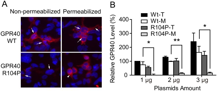 Effect of R104P mutant on cell surface localization of GPR40. (A) Translocation of GPR40 was studied with HEK293 cells transiently transfected with wild type or R104P mutant, and Cells were stained with non-permeabilized and permeabilized condition. GPR40 membranes were stained with myc-tagged GPR40 (red, arrows). Cell nuclei were stained with Hoechst 33342 (blue), 2 μg of DNA transfected. (B) Quantitative analysis of wild type and R104P mutant expression with plasmid of different amount as measured by membranes (M) and total protein (T), (shown in panel A). Data are means ± SEM (n = 3). *P