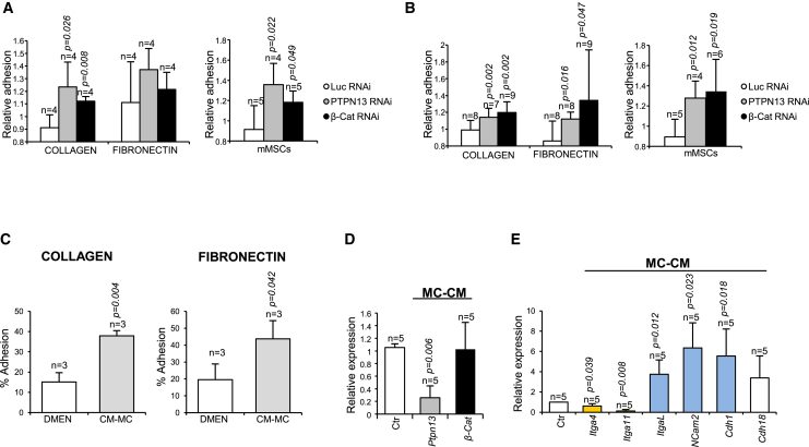 Increased Adhesion of Mouse BM Progenitor Cells by PTPN13 or β-Catenin Silencing or by Treatment with Mesenchymal Cell-Conditioned Medium (A) Lin – progenitor cells were purified after flushing the BM of the transplanted animals (n = 4–5 different mice). (B) The hematopoietic cells that remained attached to the bone were obtained after collagenase/dispase digestion (n = 4–9 different mice). Both sources of cells were seeded in collagen- or fibronectin-coated plates, or in a monolayer of mouse mesenchymal stroma cells (mMSCs). 4 hr later, non-adherent cells were removed by gentle washing with PBS. The relative adhesion was monitored by comparing the percentage of GFP + adhered cells to the initial % GFP + cells. (C) Adhesion to collagen- or fibronectin-coated plates of Lin – cells treated with mesenchymal cell-conditioned medium (MC-CM) or with control medium during 4 hr (n = 3 independent experiments). (D) Messenger levels for PTPN13 and β-catenin in Lin – cells treated with MC-CM or control medium during 8 hr. (E) Messenger levels for several genes coding for CAMs treated with MC-CM or control medium during 8 hr (n = 5 independent experiments). Upregulated genes are shown in blue, and downregulated genes are in yellow. Means ± SD are shown.