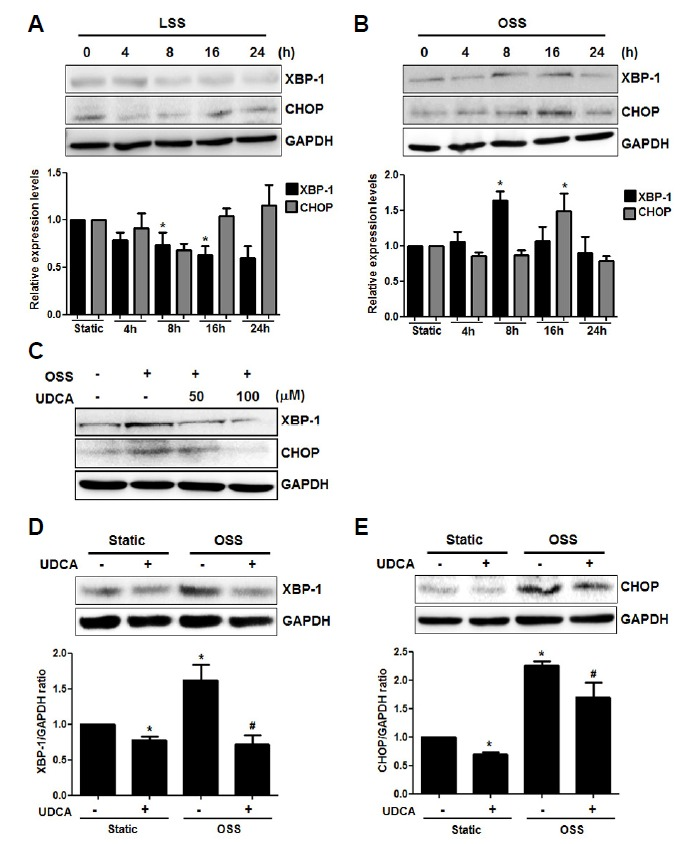 Effects of UDCA on OSS-induced ER stress in endothelial cells. HUVECs were cultured under static, LSS, or OSS conditions for the indicated time with or without UDCA (100 μM). The expression levels of ER stress markers, including XBP-1 and CHOP, were detected by Western blotting. (A, B) Expressions of ER stress markers in endothelial cells under fluid conditions. * P