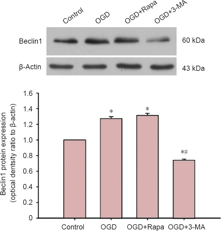 Effects of autophagy regulation and oxygen-glucose deprivation (OGD) on Beclin1 expression in Neuro-2a/amyloid precursor protein 695 cells (western blot assay). Control group: Untreated; OGD group: OGD for 1 hour; OGD + Rapa group: pretreated with Rapamycin (200 ng/mL) for 1 hour followed by OGD for 1 hour in the presence of Rapamycin (200 ng/mL); OGD + 3-MA group: pretreated with 3-methyladenine (5 mM) for 1 hour followed by OGD in the presence of 3-methyladenine (5 mM). * P