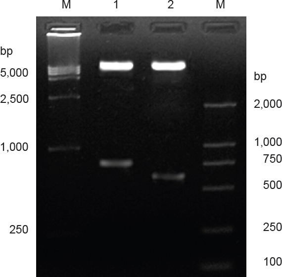 Identificatiion of PCR products by enzymatic digestion. M: DNA marker; 1: recombinant plasmid pIRES-BDNF (774 bp) by Xho I and Mlu I; 2: recombinant plasmid pIRES-CNTF (597 bp) by Xba I and Sal I; two fragments [ i.e ., target gene CNTF fragment (597 bp) and pIRES vector fragment (approximately 6.1 kb)] were acquired, confirming the product was recombinant plasmid pIRES-CNTF. BDNF: Brain-derived neurotrophic factor; CNTF: ciliary neurotrophic factor.