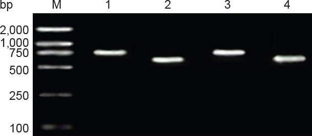 Identification of double-gene recon by PCR. M: DNA marker; 1: double-gene recon 1 BDNF mRNA amplification product (788 bp); 2: double-gene recon 1 CNTF mRNA amplification product (611 bp); 3: double-gene recon 2 BDNF mRNA amplification product (774 bp); 4: double-gene recon 2 CNTF mRNA amplification product (597 bp). Recombinant plasmid pIRES-BDNF was digested by Xho I and Mlu I, and two fragments, a 774-bp-long target gene BDNF fragment and an approximately 1.6-kb-long pIRES vector fragment, were acquired, confirming the product was recombinant plasmid pIRES-BDNF. BDNF: Brain-derived neurotrophic factor. CNTF: ciliary neurotrophic factor.
