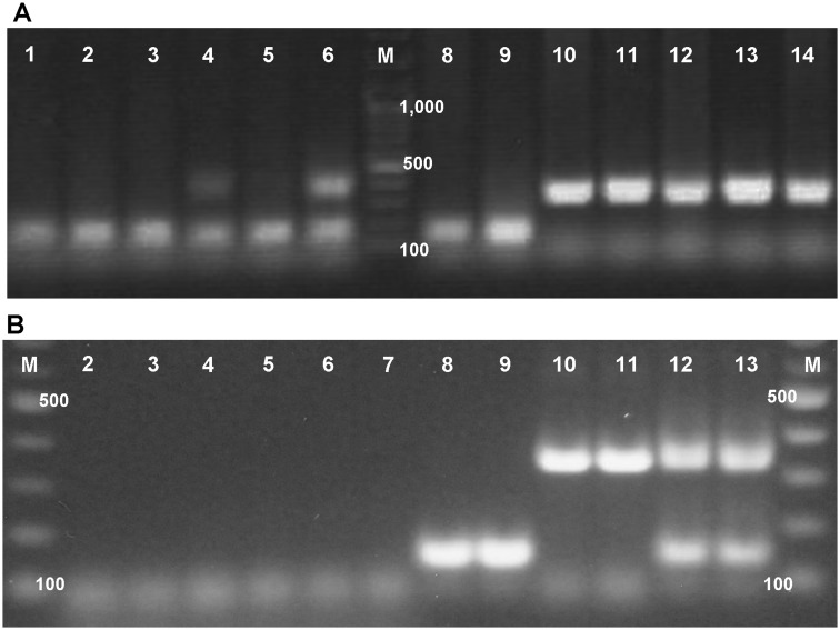 Gel images of ITS1 amplicons from a representative set of DNA amplified using the oligonucleotide primer mix developed for species detection. (A) Amplicons produced with common (3373) primer, and primers specific to H. armigera (3374) and H. zea (3377) and 0.4 μM final concentration. Lanes 1–3, 5, 8, and 9: 147 bp amplicon of H. armigera ; Lanes 10–14: 314 bp amplicon of H. zea ; Lane 4: F1 male hybrid of H. zea and H. armigera ; Lane 6: a mixture of H. zea and H. armigera DNA. (B) Amplicons produced with optimal concentrations of primers for species-specific amplicons and the 83 bp 18S rRNA subunit control amplicon. Lanes 2 and 3: H. assulta ; Lanes 4 and 5: Helio. subflexa ; Lanes 6 and 7: Helio. virescens ; Lanes 8 and 9: H. armigera ; Lanes 10 and 11: H. zea ; Lanes 12 and 13: mixed H. armigera and H. zea DNA. M: 2-log DNA ladder (New England Biolabs, Ipswich, MA) with major DNA band sizes shown in base pairs.