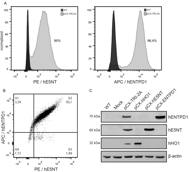 pCX TRI 2A-transfected cells were enriched via FACS for the expression of hE5NT and hENTPD1. Expression analysis on sorted transfectants showed that E5NT and ENTPD1 were expressed by more than 95% of the pCX-TRI-2A-transfected cells ( A ) and that more than 93% of those cells expressed both the two ecto-enzyme simultaneously ( B ). ( C ) The three human proteins were found strongly expressed into the transfected cells after sorting, and expression levels were unaffected by the number of genes in the construct, as there was no evidence of incomplete separation of individual proteins.