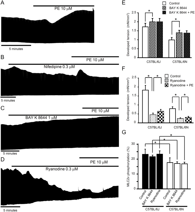 Effects of nifedipine, BAY K 8644 and <t>ryanodine</t> on phenylephrine-induced mechanical responses in papillary muscles. (A) The representative response to phenylephrine (10 μM) in C57BL/6J. Actions of nifedipine (0.3 μM, B), BAY K 8644 (1 μM, C) and ryanodine (0.3 μM, D) on twitch tension in the absence and presence of phenylephrine in C57BL/6J. Phenylephrine exerted positive inotropic response in the presence of ryanodine (i.e., in situations where SR-function is greatly reduced). Summary of the effects of BAY K 8644 (1 μM, E) and ryanodine (0.3 μM, F) on phenylephrine-induced response (n = 4–6, * P