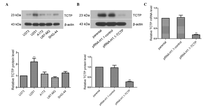 Establishment of a glioma cell line stably transfected with TCTP shRNA. (A) Expression levels of TCTP in the U373, U251, A172, U87-MG and SHG-44 glioma cell lines were compared using western blot analysis, with β-actin as the internal control. Each experiment was repeated three times. ** P