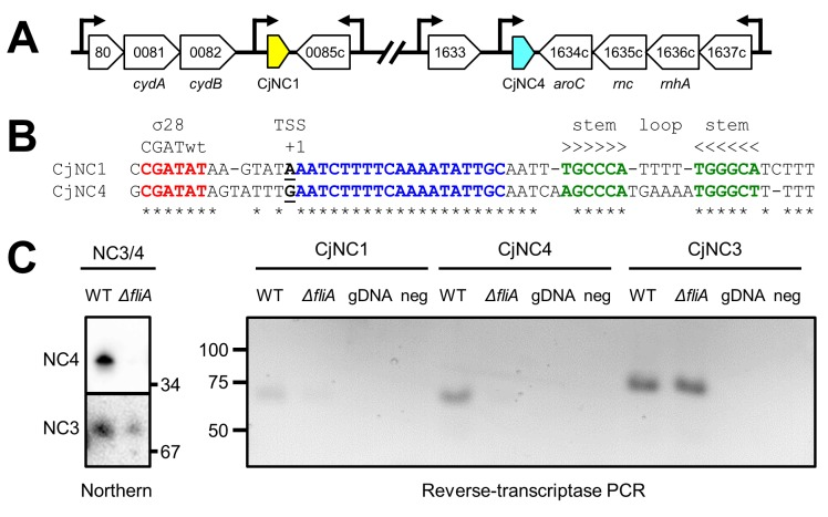The CjNC1 and CjNC4 non-coding RNAs are paralogs, expressed from σ 28 -dependent promoters. (a) Schematic representation of the genomic position, transcriptional orientation and surrounding genes of the CjNC1 and CjNC4 ncRNAs in C . jejuni NCTC 11168. Arrows indicate the position of transcription start sites of loci as mapped by dRNA-seq [ 24 ]. (b) Alignment and structure prediction of the C . jejuni NCTC 11168 CjNC1 and CjNC4 ncRNAs. The canonical -10 sequence of the σ 28 -dependent promoter is indicated in red, the transcription start site (TSS) is underlined. The blue residues are the conserved region predicted to interact with target 5' UTRs, and the green residues highlight the complementary nucleotides predicted to form the stem-loop structure which could function as transcriptional terminator. Asterisks indicate conserved nucleotides. (c) Transcription of CjNC1 and CjNC4 is dependent on σ 28 , as shown by comparing transcript levels in wildtype and fliA mutant of C . jejuni NCTC 11168, by Northern hybridisation (left) for CjNC4, and by RT-PCR for CjNC1 and CjNC4 (right), while transcription of the σ 28 -dependent CjNC3 ncRNA is not affected by the inactivation of fliA . The RT-PCR utilised a tag-based primer attached by the reverse transcription process (see Methods ) and hence cannot amplify genomic DNA, which is includes as control (gDNA).