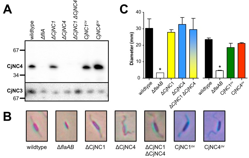 Inactivation and overexpression of <t>CjNC1</t> and <t>CjNC4</t> does not affect flagella-related phenotypes in C . jejuni . (a) The successful inactivation (indicated by Δ) and overexpression (indicated by ov ) of CjNC4 is demonstrated using Northern hybridisation. The hybridisation of <t>CjNC3</t> is shown as loading control. The first two lanes of the Northern hybridisation are also shown in Fig 1C , left panel. (b) Inactivation or overexpression of CjNC1 and CjNC4 does not change cell morphology or production of flagella, as shown by light microscopy (×10,000), with cells and flagella stained by modified Ryu staining [ 44 , 45 ]. Cutouts show representative cells, the Δ flaAB non-motile mutant is included for comparison. (c) Inactivation or overexpression of CjNC1 or CjNC4 does not significantly affect motility on swarm plates, as measured by the diameter of the swarming zone on motility agar plates. Results shown are the average of at least three independent experiments, error bars indicate standard error of the mean. The asterisk indicates P