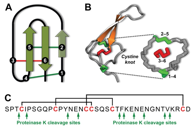 """Inhibitor cystine knot of the spider-venom peptide ω-hexatoxin-Hv1a. ( A ) Schematic of the ICK motif, which comprises an antiparallel β sheet stabilised by a cystine knot [ 1 ]. β strands are shown in green and the six cysteine residues that form the cystine knot are labeled 1–6. In spider toxins, the β sheet typically comprises only the two β strands housing Cys5 and Cys6, although a third N -terminal strand encompassing Cys2 is sometimes present [ 3 ]. The two """"outer"""" disulfide bonds are shown in green and the """"inner"""" disulfide bridge is red. ( B ) Schematic of the three-dimensional structure of the 37-residue spider-venom peptide Hv1a (PDB 1AXH) [ 5 ] highlighting the ICK motif. The cystine knot comprises a ring formed by two disulfides (Cys1–Cys4 and Cys2–Cys5, green) and the intervening sections of polypeptide backbone (gray), with a third disulfide (Cys3–Cys6, red) piercing the ring to create a pseudo-knot. The hydrophobic core of the toxin consists primarily of the two central disulfide bridges connected to the β strands. ( C ) Primary structure of Hv1a showing the location of the three disulfide bonds and the 10 proteinase K cleavage sites predicted by PeptideCutter [ 6 ]."""