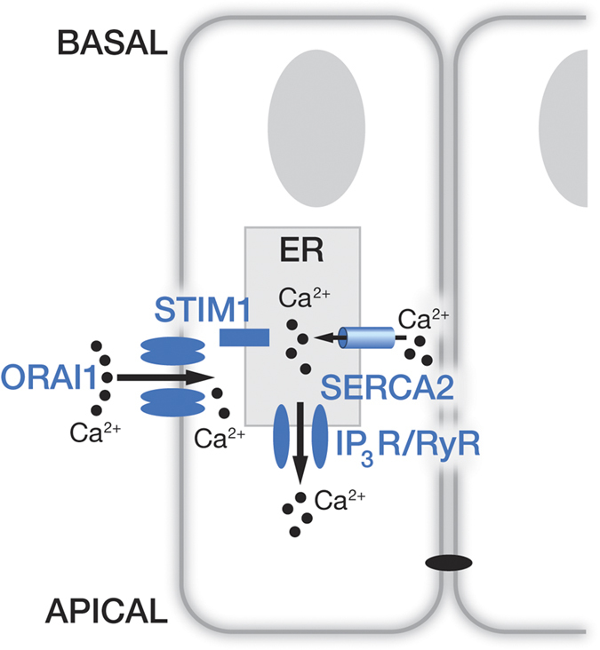 Schematic model representing calcium entry in enamel cells. Working model for Ca 2+  uptake by enamel cells showing maturation stage ameloblasts forming a cell barrier joined by tight junctions at the apical pole. In the endoplasmic reticulum (ER) we find that enamel cells express the sarco/endoplasmic reticulum SERCA2 as the main Ca 2+  refilling pump. Inositol 1,4,5-trisphosphate receptors (IP 3 R) and ryanodine receptors (RyR) are also identified as release channels with the former likely being the active release system. STIM1 has a wide distribution throughout the ER and ORAI1 is found in the plasma membrane of enamel cells. As Ca 2+  pools are depleted in the ER, STIM1 clusters enable Ca 2+  entry via the ORAI1 channel.