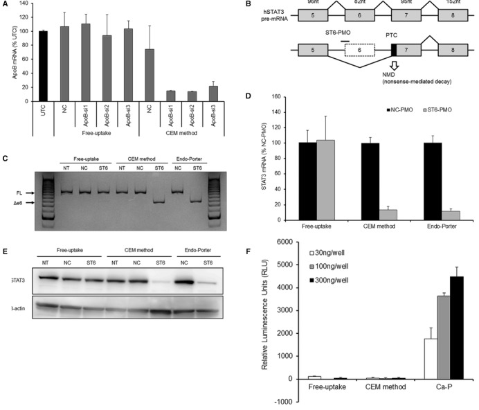 CEM enhances the activity of siRNA and PMO, but not the transfection of plasmid DNA. ( A ) CEM effect on the activity of ApoB -siRNAs. Huh-7 cells were treated with 1 μM ApoB -siRNAs with or without 9 mM CaCl 2 for 24 h. ApoB mRNA levels were analyzed using qRT-PCR. The relative quantification of ApoB mRNA was normalized against expression of the GAPDH gene. Each data point represents the mean ± SD of three independent experiments. ( B ) Knockdown of STAT3 by exon skipping and nonsense-mediated decay. ST6-PMO targeting the boundary region of intron 5 and exon 6 in the human STAT3 pre-mRNA provides exon 6 skipping and induces RNA degradation by nonsense-mediated mRNA decay. PTC: premature termination codon. ( C ) RT-PCR analysis for STAT3 pre-mRNA splicing. Huh-7 cells were treated with ST6-PMO with or without 9 mM CaCl 2 . After 48 h, STAT3 pre-mRNA splicing was visualized by polyacrylamide gel separation of RT-PCR products. FL: full-length, Δe6: exon 6 skipping, NT: non-treatment, NC: negative control. ( D and E ) qRT-PCR and western blot analysis of STAT3 expression. Huh-7 cells were treated with ST6-PMO with or without 9 mM CaCl 2 . After 48 h, STAT3 mRNA was analyzed using qRT-PCR (D) and STAT3 protein was analyzed by western blot (E). For qRT-PCR, the relative quantification of STAT3 mRNA was normalized against expression of the GAPDH gene. Each data point represents the mean ± SD of three independent experiments. β-actin was the loading control for western blot. Endo-Porter was used as the positive control for PMO transfection. ( F ) CEM effect on the transfection of plasmid DNA. Twenty-four hours after seeding of Huh-7 cells, firefly luciferase expression plasmid, pGL4.50 was added with or without 9 mM CaCl 2 in the medium. CalPhos Mammalian Transfection kit was used as a positive control for plasmid transfection by the calcium phosphate method (Ca-P). At 48 h after transfection, firefly luciferase activity was measured using ONE-Glo Luciferase Assay system a