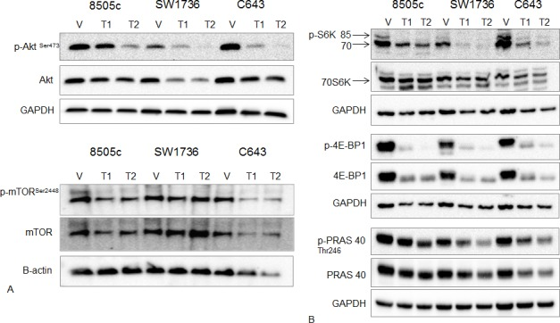 Effect of Torin2 on mTOR and mTOR-related protein expression and phosphorylation A. Western blot analysis of AKT, phospho-AKT Ser473 , mTOR Ser2448 (mTORC1 site) and total mTOR. ATC cells were treated with Torin2 for 48 hours at T1 = 0.05 μM and T2 = 0.14 μM. Beta-actin was used as a loading control for the mTOR blot because of the higher molecular weight. B. Western blot analysis of downstream targets of mTOR: phospho-S6K (p-S6K), total 70S6K, phospho-4E-BP1 (p-4E-BP1), total 4E-BP1, phospho PRAS40 (p-PRAS40) and total PRAS40 with Torin2 treatment for 48 hours in ATC cells at T1 = 0.05 μM and T2 = 0.14 μM.