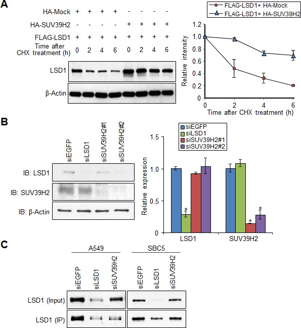 SUV39H2 stabilizes LSD1 protein A. FLAG-LSD1 was co-expressed with HA-Mock or HA-SUV39H2 into 293T cells. After treating cells with cycloheximide (CHX) (100 μg/ml) for indicated time intervals, expression of LSD1 was examined (left panel). The intensity of LSD1 protein for each time point was quantified by densitometry and plotted (right panel). Results are the mean ± SD of three independent experiments. B. A549 cells were transfected with control EGFP, LSD1 and two different SUV39H2 siRNAs. Expression of LSD1, SUV30H2 and β-Actin (internal control) was examined by western blot (left panel). The mRNA levels of LSD1 and SUV39H2 were quantified by real-time PCR. All error bars indicate SEM of two independent experiments. P -values were calculated using Student's t -test (* P