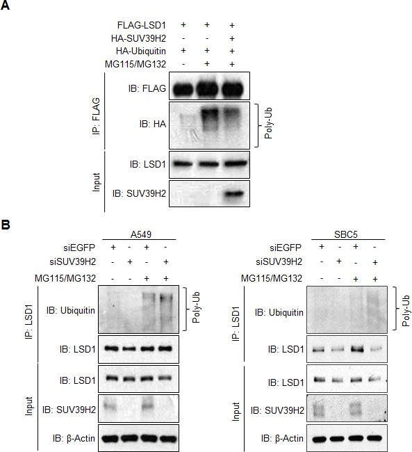 SUV39H2-dependent LSD1 methylation inhibits LSD1 protein degradation mediated by polyubiquitination A. FLAG-LSD1 and HA-Ubiquitin were co-expressed in 293T cells with or without HA-SUV39H2. Cells were incubated with 5 μM MG115 and 10 μM MG132 for 6 hours before lysis. LSD1 protein was immunoprecipitated with anti-FLAG M2 agarose beads, and polyubiquitinated LSD1 proteins were detected by anti-HA antibody. B. After incubation with siEGFP or siSUV39H2 for 72 hours, A549 (left panel) or SBC5 (right panel) cells were treated with 5 μM MG115 and 10 μM MG132 for 6 hours. Cell lysates were immunoprecipitated with anti-LSD1 antibody. Polyubiquitinated LSD1 protein was detected using an anti-Ubiquitin antibody.