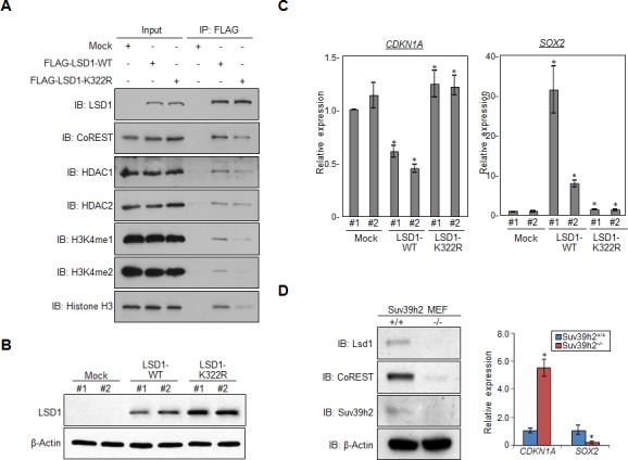 Methylation of LSD1 at lysine 322 is critical for its binding to CoREST, and regulating targeted genes A. 293T cells were individually transfected with FLAG-Mock, FLAG-LSD1 or FLAG-LSD1mutant (K322R) vectors, and cell extracts were immunoprecipitated with anti-FLAG M2 agarose beads. B. Expression levels of LSD1 proteins were examined in stably expressing wild-type LSD1 or mutant LSD1 (K322R) HeLa cells. C. The mRNA levels of CDKN1A and SOX2 were quantified by real-time PCR. All error bars indicate SEM of four independent experiments. P -values were calculated using Student's t -test (* P