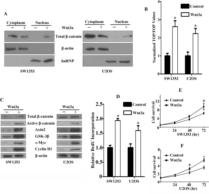 Functional effects of canonical Wnt/β-catenin signaling activation in bone sarcoma cells A. β-catenin accumulation and nuclear translocation in bone sarcoma cells in response to Wnt3a. SW1353 and U2OS cells were incubated for 12 hr in the absence or presence of 200ng/ml Wnt3a. To assess β-catenin nuclear accumulation, cells were lysed and were immunoblotted by using a monoclonal anti-β-catenin antibody (Top). The middle and bottom part of the blot was stained with anti-β-actin or hnRNP to verify equal loading. B. Activation of the TCF-reporter transcriptional activity in bone sarcoma cells in response to Wnt3a. SW1353 and U2OS cells were incubated for 12 hr in the absence or presence of 200ng/ml Wnt3a, and then the TCF-reporter transcriptional activity was determined by luciferase activity as indicated in Materials and Methods. C. Western blot analysis of Wnt3a effects on total β-catenin, active dephosphorylated β-catenin, Axin2, <t>GSK-3β,</t> c-Myc, Cyclin-D1, and β-actin protein expression. SW1353 and U2OS cells were incubated for 12 hr in the absence or presence of 200ng/ml Wnt3a. The whole-cell lysates were immunoblotted with the indicated antibodies. D. Effect of Wnt3a on the cell proliferation by Brdu incorporation assay. SW1353 and U2OS cells were incubated for 48 hr in the absence or presence of 200ng/ml Wnt3a. Cell proliferation was determined by Brdu incorporation assay as indicated in Material and Methods. E , F. Effect of Wnt3a on the cell survival by MTS assay. SW1353 E. and U2OS F. cells were incubated for 24, 48, 72 hr in the absence or presence of 200ng/ml Wnt3a. Cell survival was determined by MTS assay as indicated in Materials and Methods # P