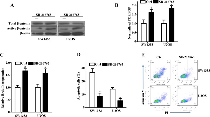 Activation of canonical Wnt/β-catenin signaling and enhancement of bone sarcoma cell survival by a GSK-3β inhibitor A. GSK-3β inhibitor SB-216763 increased active β-catenin levels by inhibiting GSK-3β activity in SW1353 and U2OS cells. Bone Sarcoma cells were incubated with 10ng/ml SB-216763 or the DMSO vehicle for 24 hr. The whole-cell lysates were immunoblotted with the indicated antibodies. B. Activation of the TCF-response elements by SB-216763. SW1353 and U2OS cells were treated with the GSK-3β inhibitor SB-216763 (10ng/ml) or the DMSO vehicle for 24 hr, and then the TCF-reporter transcriptional activity was determined by luciferase activity as indicated in Materials and Methods. C. The prosurvival activity of SB-216763 in SW1353 and U2OS cells. Bone sarcoma cells were incubated with 10ng/ml SB-216763 or the DMSO vehicle for 24 hr before determinations of cell proliferation by relative Brdu incorporation assay. The mean incremental survivals measured in triplicate and the SD were shown. D. SB-216763 protected bone sarcoma cells from apoptosis induced by cisplatin. SW1353 and U2OS cells were incubated with 10ng/ml SB-216763 or the DMSO vehicle for 24 h, and then treated with 1μg/ml cisplatin for 24 h. The apoptotic cells were measured by flow cytometry by using the FITC-conjugated Annexin V and PI. Three independent experiments were analyzed. E. Two representative bone sarcoma cells of the anti-apoptotic effect of SB-216763 were shown by the FITC-conjugated Annexin V and PI # P