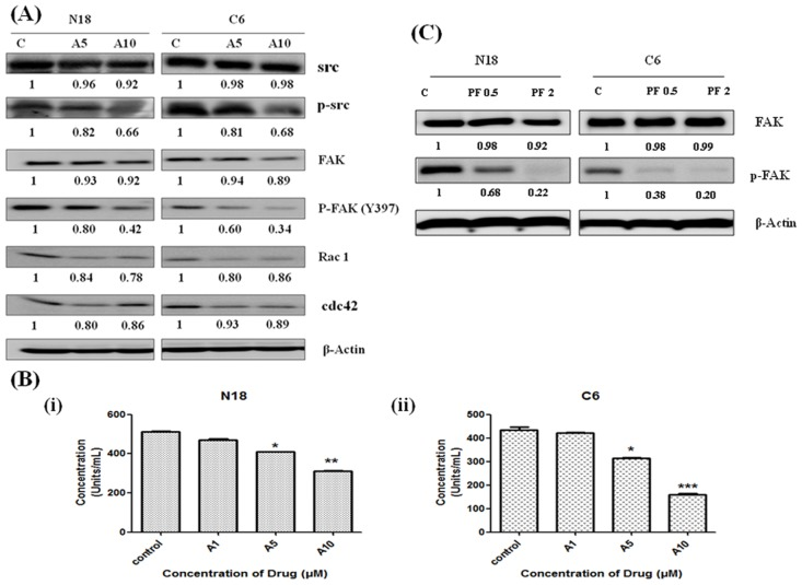Effects of antroquinonol on FAK signaling pathway. Cells were treated with the indicated concentrations of antroquinonol (5 and 10 μM) for 24 h. Cells were harvested and lysed for western blot analysis. (A) Changes in the levels of FAK, pFAK, Src, pSrc, Cdc42, and Rac1 proteins after normalization to the levels of beta-actin are shown below each blot. (B) The in vitro assay was performed to detect the effect of antroquinonol on pFAK (Y397) (i) N18 and (ii) C6. (C) Cells were treated with PF 431396 (0.5 and 2 μM) for 24 h. Proteins were extracted and subjected to western blot analysis for FAK and pFAK. The results shown are the mean ±SEM of three independent experiments. * p