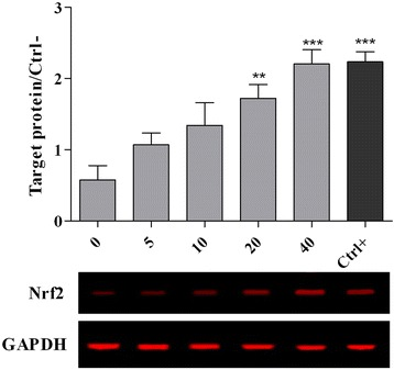 Expression of nrf2 protein in chicken hepatocytes. The cells were pre-treated for 24 h with different concentrations of PEF ranging from 0 to 40 μg/ml and positive control (gallic acid, 10 μM or 1.7 μg/ml). The media were replaced with a medium containing 5 μM of AFB1 and the cells were incubated for another 48 h. All values represent means ± SEM from three independent experiments. *** p