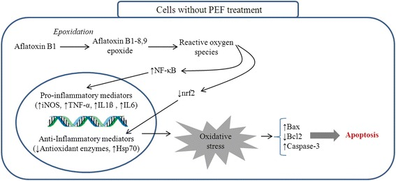 This diagram illustrates the events taking place in un-treated chicken hepatocytes exposed to AFB1