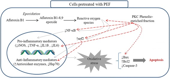 This diagram illustrates the probable protective mechanisms of PEF in chicken hepatocytes exposed to AFB1