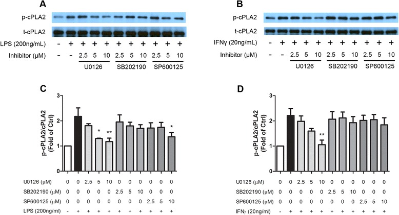 ERK1/2 contributed to cPLA 2 phosphorylation after LPS/IFNγ stimulation. BV-2 cells were starved for 3 h in serum-free DMEM. One hour prior to stimulation, cells were pretreated with indicated concentrations of MAPK inhibitors: U0126 (U) for ERK1/2 inhibition, SB202190 (SB) for p38 MAPK inhibition, and SP600125 (SP) for JNK inhibition. Cells were then stimulated with a , c 200 ng/mL LPS or b , d 20 ng/mL IFNγ. Cells were lysed and proteins were collected and processed 2 h after LPS stimulation or 8 h after IFNγ stimulation for Western blot analyses. a , b Representative blots. Protein expression was quantified with QuantityOne software for three separate experiments for c LPS-stimulated BV-2 cells and d IFNγ-stimulated BV-2 cells. Results were expressed as the mean ± SEM ( n = 3) and significant difference from the respective group was determined by one-way ANOVA followed by Dunnett's post-tests, * P