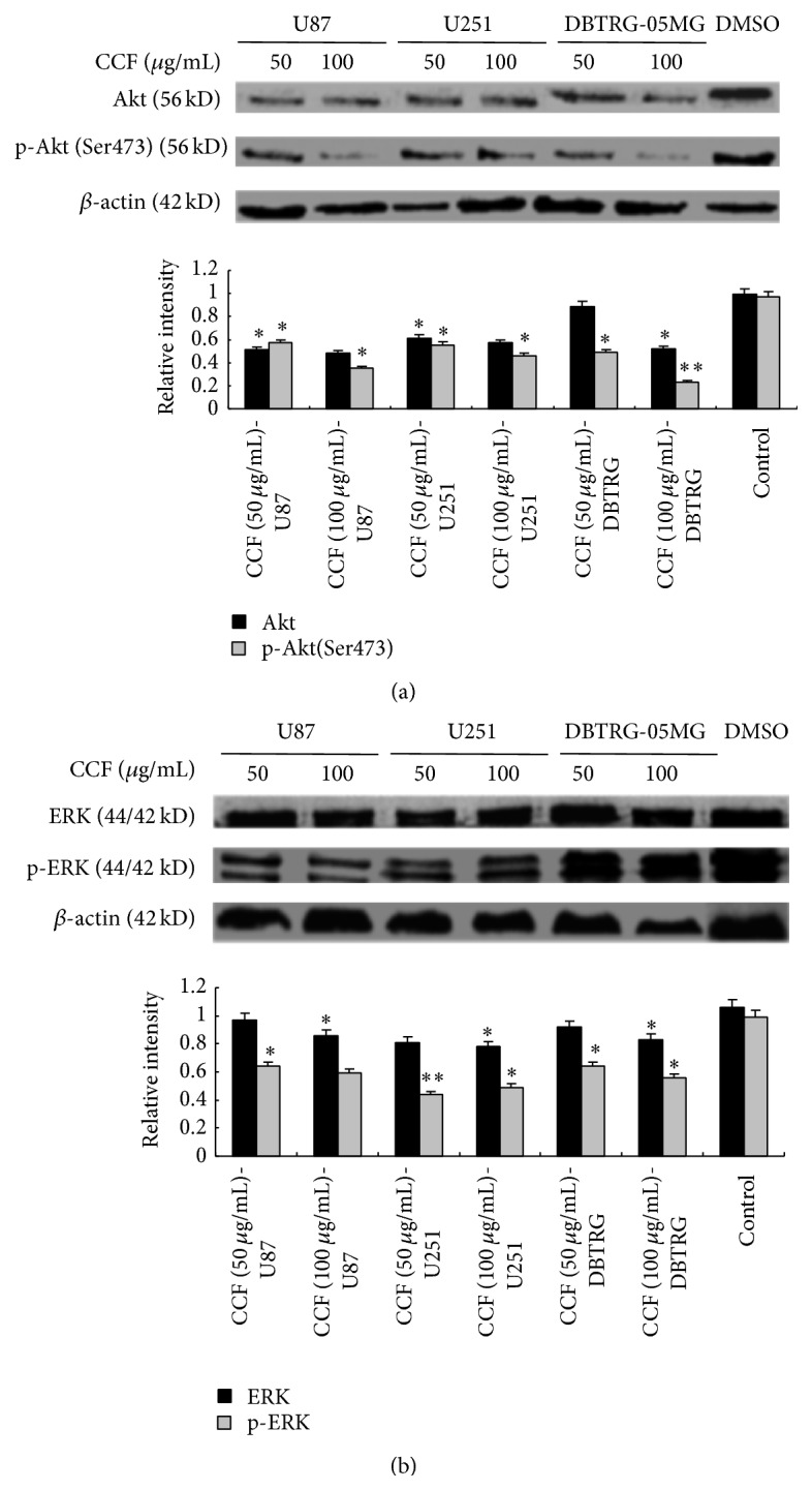 Apoptosis induced by CCF was associated with the PI3K/AKT/ERK signaling pathway. (a) Phosphorylation of Akt (Ser473) was significantly lower in U87, U251, and DBTRG-05MG glioblastoma cells treated with CCF. CCF (100 μ g/mL) induced the downregulation of Akt levels in U87, U251, and DBTRG-05MG glioblastoma cells. (b) Compared with the control, CCF had no significant effects on ERK levels, and phospho-ERK levels were downregulated by CCF in U87, U251, and DBTRG-05MG glioblastoma cells. ∗ P