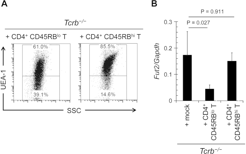 Effector T cells are involved in the downregulation of epithelial fucosylation in the ileum. CD4 + CD45RB hi or CD4 + CD45RB lo T cells were purified from the spleens of C57BL/6 mice and adoptively transferred into Tcrb −/− mice. After 4 weeks, ileal ECs were analyzed for fucosylation by flow cytometry ( A ) and for Fut2 expression by quantitative PCR ( B ). Data in ( A ) are representative of 6 independent experiments. Data in ( B ) are shown as mean ± s.d. ( n = 6 from 2 independent experiments).