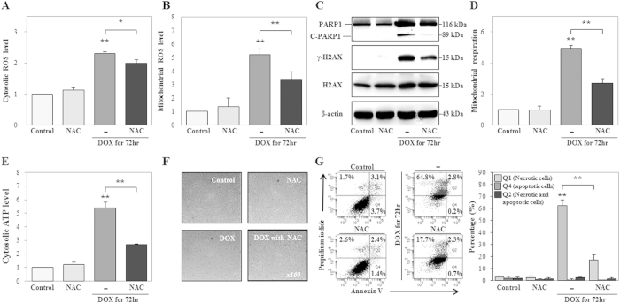 Treatment with a ROS scavenger suppresses doxorubicin (DOX)-induced cytosolic adenosine triphosphate (cATP) production, DNA damage, mitochondrial hyper-activation, and necrosis. HK-2 cells were treated with a ROS scavenger (N-acetyl cysteine, NAC, 5 mM), DOX (1 μM), or both DOX and NAC for 72 h. ( A , B ) Cytosolic ROS and mitochondrial ROS levels were measured using DCF-DA and MitoSOX, staining, respectively, and signals were detected by FACS analysis. ( C ) Expression levels of PARP1 (116 kDa), C-PARP1 (89 kDa), γ-H2AX ser139 (15 kDa), and H2AX were measured by western blot analysis in whole cell extracts. β-Actin was used as a loading control. The gels were electrophoresed under the same experimental conditions. ( D , E ) Mitochondrial respiration and cATP production were measured using MitoTracker Red CMXRos staining and ATP-based CellTiter-Glo Luminescent Cell Viability Assays, and signals were detected using FACS analysis or analysis on a microplate reader, respectively. ( F ) Morphological changes were measured using phase-contrast microscopy (original magnification, 100×). ( G ) Analysis of cell death, including necrosis (Q1), apoptosis (Q4), and necrosis with apoptosis (Q2), as measured using Annexin V and PI double staining. Necrotic and/or apoptotic cells were detected using FACS analysis. The histogram shows the percentage of cells in each group, as the average of the results of three independent experiments (* P