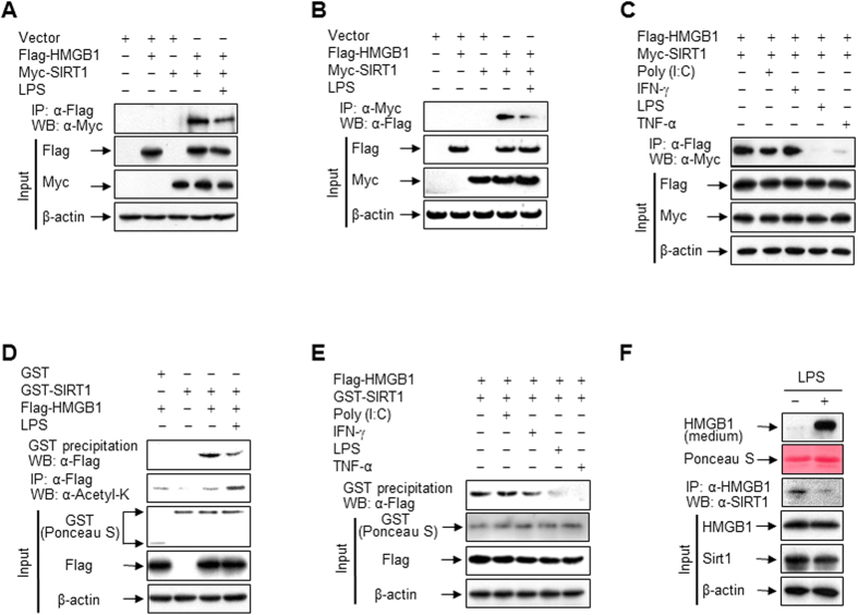 LPS promotes HMGB1 release via its dissociation from SIRT1. ( A–C ) HEK293T cells co-transfected with Flag-HMGB1 and/or Myc-SIRT1 for 48 h were incubated with LPS (100 ng/ml), Poly (I:C) (50 μg/ml), IFN-γ (40 ng/ml), or TNF-α (20 ng/ml) for 3 h, and then whole-cell lysates were immunoprecipitated with an anti-Flag ( A,C ) or anti-Myc ( B ) antibody and analyzed by Western blotting. ( D,E ) HEK293T cells expressing Flag-HMGB1 were incubated with or without the indicated stimuli for 3 h. Whole-cell lysates were incubated with recombinant GST or GST-SIRT1 fusion protein immobilized to glutathione-Sepharose 4B beads for 20 h, and then pulled down or immunoprecipitated. GST and GST-fused proteins were stained with Ponceau S. ( F ) RAW 264.7 cells co-transfected with Flag-HMGB1 and Myc-SIRT1 for 48 h were incubated with or without LPS (100 ng/ml) for 6 h (for interaction) or 24 h (for HMGB1 release). Whole-cell lysates were immunoprecipitated with an anti-HMGB1 antibody to determine the interaction with SIRT1. To detect released HMGB1, equal volumes of conditioned media were analyzed by Western blotting.