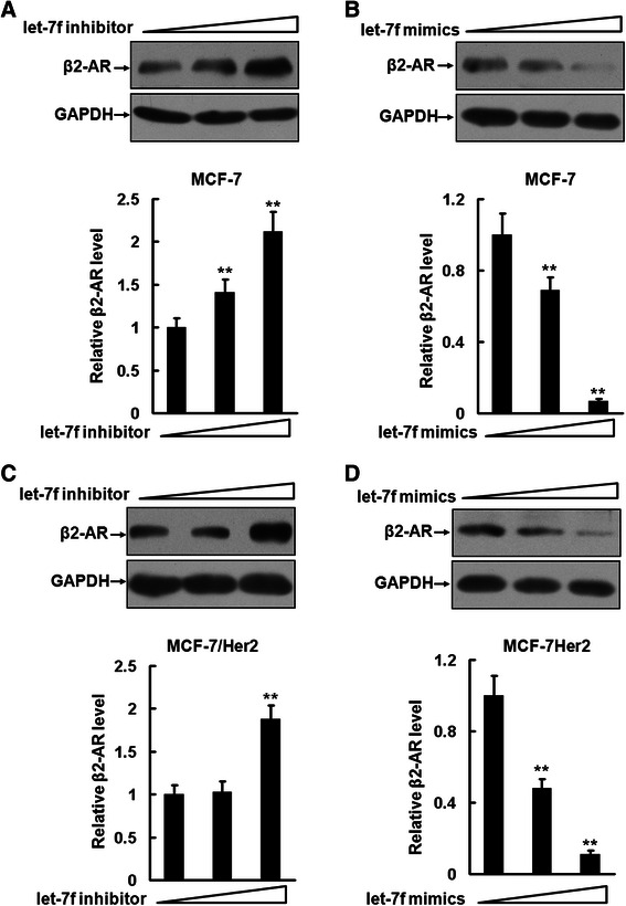 Let-7f regulates β2-AR expression in breast cancer cells. a to d , MCF-7 ( a and b ) and <t>MCF-7/Her2</t> cells ( c and d ) were planted in 24-well plates and transfected with 9 and 27 pmol synthetic inhibitors or mimics of let-7f. The expression of β2-AR was analyzed by Western blot. These experiments were repeated twice