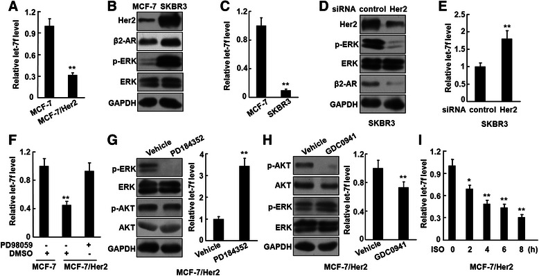 Her2 overexpression inhibits let-7f via constitutive activation of ERK. a , The expression of let-7f in MCF-7 and MCF-7/Her2 cells was detected by real-time RT-PCR. b and c , The expression of Her2, β2-AR, and phosphorylated ERK in MCF-7 and SKBR3 cells was analyzed by Western blot ( b ) and the level of let-7f was detected by real-time RT-PCR ( c ). d and e , SKBR3 cells were transfected with the siRNA targeting Her2. The expression of Her2, β2-AR, and phosphorylated ERK was analyzed by Western blot ( d ) and the level of let-7f was detected by real-time RT-PCR ( e ). f , MCF-7/Her2 cells were pre-treated with 25 μM PD98059 or DMSO (as a solvent control) for 24 h and the expression of let-7f was analyzed. g and h , MCF-7/Her2 cells were pre-treated with 1 μM PD184352 ( g ) or 0.5 μM GDC0941 (h) for 2 h. The levels of phosphorylated ERK and AKT were analyzed by Western blot and the expression of let-7f was detected by real-time RT-PCR. i , MCF-7/Her2 cells were treated with 2.5 μM ISO and the expression of let-7f was analyzed by real-time RT-PCR. These experiments were repeated at least twice. * P