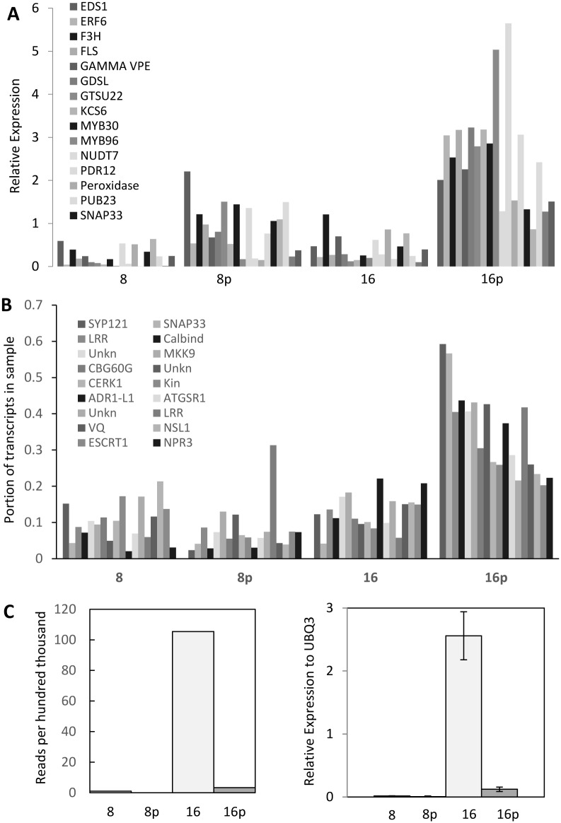 Expression analysis of putative defense related genes. (A) qRT-PCR verification of potential pathogen defense-related genes with elevated expression in 16 days post pollination (dpp) peels. (B) Relative expression of SYP121/SNAP33 co-expressed genes in 8 and 16 dpp pericarp and peel samples as assessed by 454 pyrosequencing. Genes shown are in the order listed in Table 4 . (C) Expression of CsFM01 as assessed by 454 pyrosequencing (left) and qRT-PCR analysis (right). 8 = 8 dpp pericarp; 8p = 8 dpp peel; 16 = 16 dpp pericarp; 16p = 16 dpp peel.