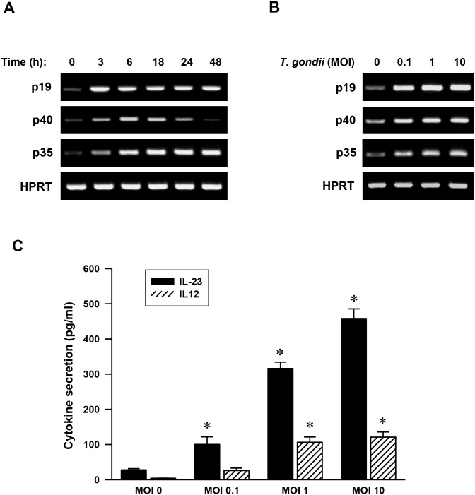 Toxoplasma gondii infection induces IL-23 and IL-12 expression in human monocytic THP-1 cells. (A) Kinetics of T . gondii induction of p19, p40, and p35 mRNA expression. Human monocytic THP-1 cells were treated with T . gondii at a multiplicity of infection 1 (MOI 1) for the times indicated. RNA was extracted, and semi-quantitative RT-PCR for p19, p40, and p35 was performed. HPRT was used as a loading control. A representative gel of three independent replicates with similar results was shown. (B) MOI-dependent increases in the mRNA expression of p19, p40, and p35. RT-PCR analysis for p19, p40, and p35 mRNA expression at 6 h was assessed in THP-1 cells after treatment with T . gondii at a MOI of 0, 0.1, 1, or 10. (C) MOI-dependent increases in IL-23 and IL-12 production. ELISA for IL-23 and IL-12 was performed in THP-1 cells after treatment with T . gondii at a MOI of 0, 0.1, 1, or 10 for 18 h. The results, expressed as means ± SDs of values for triplicate wells, are representative of three separate experiments.* P