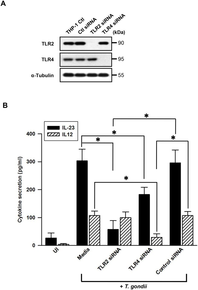 Differential regulation of IL-23 and IL-12 productions in T . gondii -infected THP-1 cells upon treatment with small interfering RNA (siRNA) of TLR2 or TLR4. (A) THP-1 cells were transfected with 25 pmol of siRNA against TLR2 or TLR4 (or control siRNA) for 48 h, the TLR2 and TLR4 protein expression were determined by western blot analysis. (B) THP-1 cells were treated as Fig 3A, the supernatants were harvested after treatment with T . gondii at a MOI 1 for 18 h. The secretion levels of IL-23 and IL-12 were determined using ELISA. The results, expressed as means ± SDs of values for triplicate wells, were representative of three separate experiments.* P