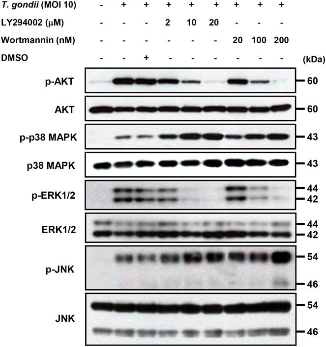 Regulation of AKT and MAPKs activations in T . gondii -infected THP-1 cells upon pretreatment with PI3K inhibitors. THP-1 monocytes were preincubated with the PI3K inhibitor LY294002 (LY) or wortmannin (WM) for 1 h, and then were infected with T . gondii at MOI 10 for 30 min. The cellular lysates were separated by SDS-PAGE and analyzed by immunoblotting using phospho-specific primary antibodies against AKT (Ser473), p38 MAPK, ERK1/2, and JNK. To ensure equal protein loading, the blots were stripped and reprobed with antibodies against AKT, p38 MAPK, ERK1/2, and JNK. A representative experiment of three independent replicates with similar results is shown.