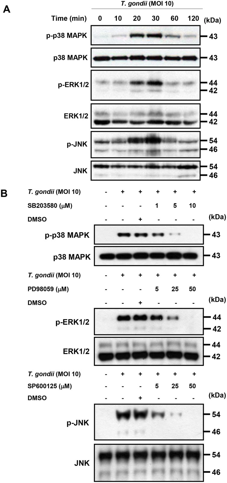 Regulation of p38 MAPK, ERK1/2 or JNK activation in T . gondii -infected THP-1 cells by specific inhibitors. (A)THP-1 cells were infected with T . gondii at MOI 10 for the indicated time and the phosphorylation levels of p38 MAPK, ERK1/2 and JNK was checked by western blot. (B) THP-1 cells were pretreated with the p38 inhibitor (SB203580), ERK inhibitor (PD98059), or JNK inhibitor (SP600125) for the indicated concentration for 1 h and infected with T . gondii at MOI 10 for 30 min. The phosphorylation levels of p38 MAPK, ERK1/2 and JNK was checked. A representative experiment of three independent replicates with similar results is shown.