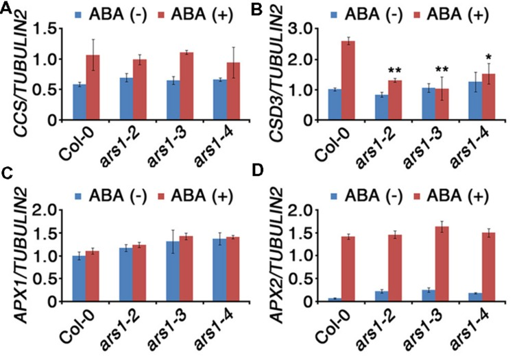 Expression of ROS-scavenging genes in response to ABA treatment. Total RNA was isolated from 10-d-old seedlings of WT and ars1 mutants with or without ABA (100 μM) treatment for 3 h. Relative transcript levels of CCS (A) , CSD3 (B) , APX1 (C) , and APX2 (D) in Col-0 and ars1 mutants determined by qRT-PCR. Transcript levels were normalized to those of TUBULIN2 . Bars represent mean ± SD of three biological replicates with three technical replicates each. Asterisks represent significant differences from the Col-0 ( ∗ ; 0.01