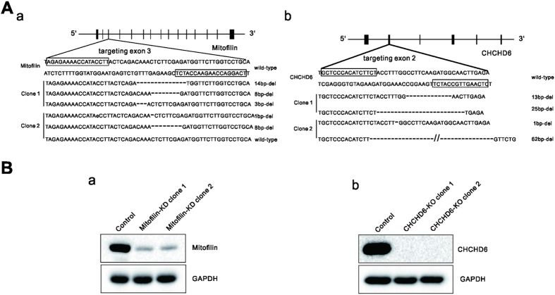 Generation of Mitofilin-knockdown and CHCHD6-knockout HeLa cell clones with TALENs ( A ) The boxes indicate the TALEN binding sites for Mitofilin, targeting exon 3 ( a ), and for CHCHD6, targeting exon 2 ( b ).Deletions in alleles of each clone are indicated. ( B ) Immunoblot analysis using whole-cell lysates from wild-type (WT) cells and the two Mitofilin-knockdown (a) or two CHCHD6-knockout ( b ) HeLa cell lines. Full-length blots/gels are presented in Supplementary Figure 4 .