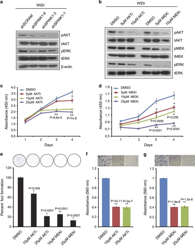 Knockdown of SPINK1 reduces PI3K/AKT and MEK/ERK signaling. ( a ) AKT and ERK phosphorylation was determined by western blotting using shSPINK1-1, shSPINK1-2, shSPINK1-3 and shSCRM WiDr cells. ( b ) Western blotting for AKT, MEK and ERK phosphorylation for WiDr cells treated with 5 and 10 μ M of AKT inhibitor (LY294002) and MEK inhibitor (PD98059) and DMSO control. ( c ) Cell proliferation assay using WiDr cells treated with 5 , 10 and 25 μ M of AKT inhibitor (LY294002) with DMSO as control. ( d ) Same as c , except MEK inhibitor (PD98059) was used. ( e ) Foci formation assay using WiDr cells treated with AKT and MEK inhibitor. ( f ) Boyden chamber matrigel invasion assay using WiDr cells treated with 10 and 25 μ M of AKT inhibitor (LY294002) and DMSO. ( g ) Same as f , except cells were treated with MEK inhibitor (PD98059). Error bars represent mean±s.e.m. P -values derived from two-sided Student's t -test, * P