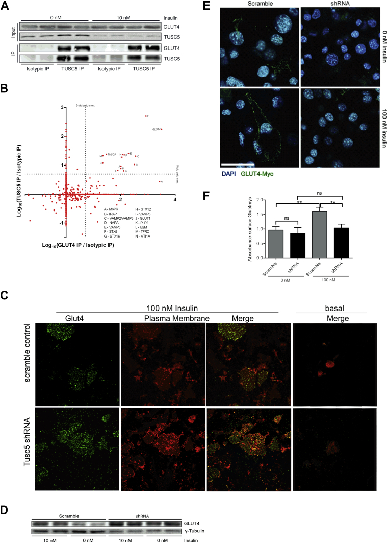 TUSC5 interacts with GLUT4 and is involved in insulin-stimulated GLUT4 trafficking . ( A ) Western blot of immunoprecipitation of endogenous TUSC5 from 3T3-L1 adipocytes in basal (0 nM) and insulin-stimulated state (10 nM). ( B ) Mass spectrometric identification of co-precipitants from TUSC5 and GLUT4 IPs (n = 4). *p