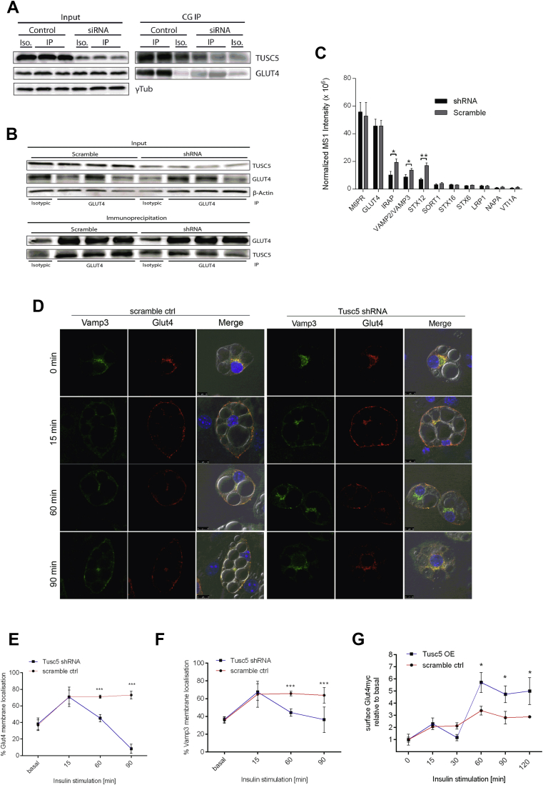 TUSC5 promotes intracellular associations during protein recycling . ( A ) Western blot of immunoprecipitation of endogenous cellugyrin (CG) from 3T3-L1 adipocytes after siRNA-mediated TUSC5 knockdown. ( B ) Western blot of immunoprecipitation of endogenous GLUT4 from 3T3-L1 adipocytes in control and TUSC5 knockdown conditions. ( C ) MS1 intensities from mass spectrometric analysis of co-precipitants of GLUT4 IPs as in 2D (n = 4). *p