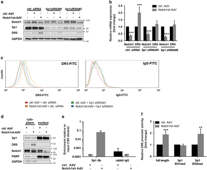 Notch1 regulates DR5 via the transcription factor Sp1. ( a and b ) U251MG cells transduced with control-AdV or Notch1sh-AdV were transfected with Sp1 siRNA oligonucleotides 24 h post transduction. ( a ) Immunoblot analysis for Notch1, Sp1, and DR5 72 h post transduction. ( b ) Quantitative real-time PCR analysis of Notch1 and DR5 mRNA expression 72 h post transduction. Expression data were normalized to internal 18 S rRNA expression ( n =3, mean±S.D.). P- values were determined by t -test. ( c ) U251MG cells transduced with control-AdV or Notch1sh-AdV were transfected with Sp1 siRNA oligonucleotides 24 h post transduction. Amount of DR5 located at the cell membrane was determined by flow cytometry 48 h post transfection using a FITC-labeled anti-DR5 antibody (left panel) and a FITC-labeled IgG as a control (right panel). ( d ) Cytoplasmic and nuclear levels of Sp1 remain stable following Notch1 knockdown. Immunoblot analysis for Notch1 and Sp1 in cytoplasmic and nuclear lysate fractions from wild type, control-AdV and Notch1sh-AdV-transduced U251MG cells 72 h post transduction. ( e ) Binding of Sp1 to the DR5 promoter is strongly enhanced following Notch1 downregulation. ChIP analysis of Sp1-binding to the DR5 promoter in U251MG cells transduced with control-AdV or Notch1sh-AdV (72 h) ( n =2; mean±S.D.). Rabbit IgG was used as a control for unspecific binding. ( f ) Relative DR5 promoter activity measured in U251MG cells transduced with control-AdV or Notch1sh-AdV using luciferase reporter constructs containing either the full-length DR5 promoter (−198 bp) or the DR5 promoter with mutated Sp1-binding site 1 (Sp1 BS1mut) and mutated Sp1-binding site 2 (Sp1 BS2mut), respectively ( n =3; mean±S.D.). P -values were determined by t -test. ND, not detected