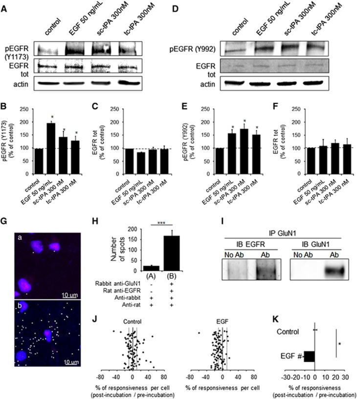 Both sc-tPA and tc-tPA at 300 nM can modulate EGFR signaling. ( a ) Representative immunoblots for phospho-EGFR ( A – C : tyrosine 1173; D – F : tyrosine 992) and total EGFR on neurons (12–13 DIV) after treatments with EGF (50 ng/ml), sc-tPA or tc-tPA (300 nM) during 15 min. ( B , C , E and F ) Quantifications of phosphorylated EGFRs and total EGFRs were compared with control (mean±S.E.M.; N =3 or 4 experiments; * P