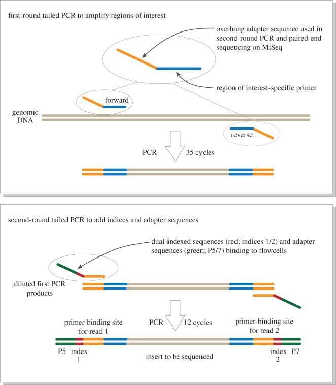 Schematic representation of the paired-end library preparation using a two-step tailed PCR. The workflow is derived from a document '16S metagenomic sequencing library preparation: preparing 16S ribosomal gene amplicons for the Illumina MiSeq system' distributed by Illumina (part no. 15044223 Rev. B) and the figure was drawn with reference to a website of the Genomics and Sequencing Center at the University of Rhode Island ( http://web.uri.edu/gsc/next-generation-sequencing/ ).