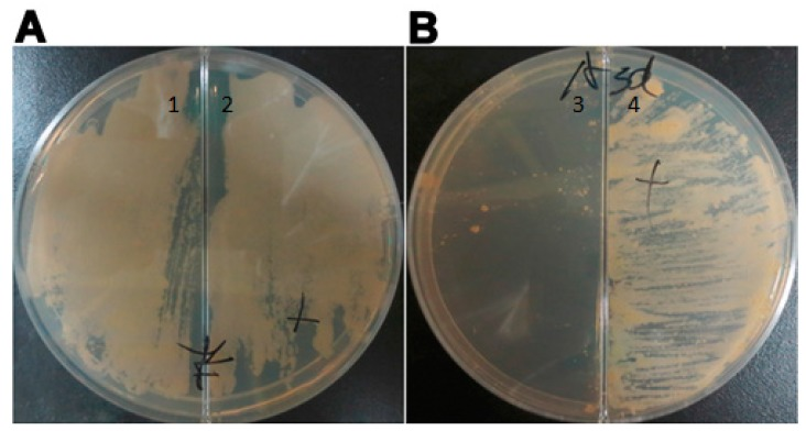 Mycobacterium tuberculosis cultured on 7H10 solid medium in the absence of the inducer ( Section 1 and Section 3 ) and the presence of 0.1 µg/mL pristinamycin ( Section 2 and Section 4 ). Plate B contained 100 µg/mL <t>hygromycin.</t> ( A ) MTB H37Rv bacteria formed a lawn of colonies on the medium and were dependent on the inducer for survival; ( B ) MTB:: asadh bacteria formed colonies only on the medium containing pristinamycin. The experiments were repeated three times, and typical images are shown.
